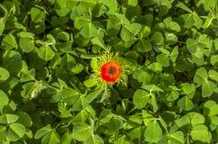 Сногсшибательный крупный план раннего утра снятый гениальной красной розы Стоковое фото RF