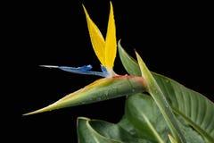 Сногсшибательный цветок райской птицы на черной предпосылке Стоковое фото RF