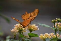 2 сногсшибательных оранжевых бабочки рябчика залива в природе Стоковое фото RF