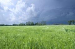 Снопы пшеницы Стоковые Фото