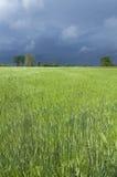 Снопы пшеницы Стоковая Фотография RF