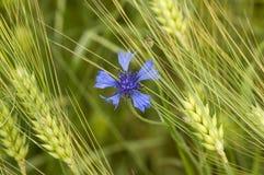 Снопы пшеницы Стоковые Изображения