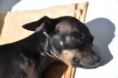 сны собаки Стоковые Фото