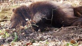 Сны черного медведя сток-видео