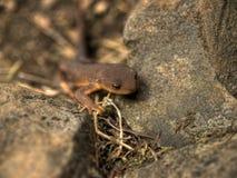 снятая кожу с грубая newt Стоковое Изображение