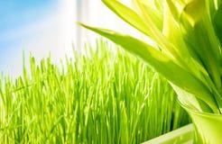 Снятый зеленой травы растя на windowsill Стоковая Фотография RF