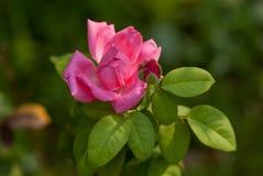 Снятый макросом цветок розы пинка в саде стоковое изображение rf