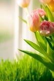 Снятый пука тюльпанов стоя на windowsill Стоковые Фото
