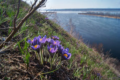 Сн-трава.   ветр-цветок цветков (patens Pulsatilla). Стоковые Фото