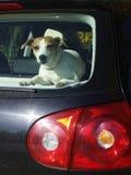 собака автомобиля стоковая фотография rf