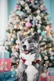 Собака Акита тигра портрета в лесе в рождественской елке стоковая фотография rf