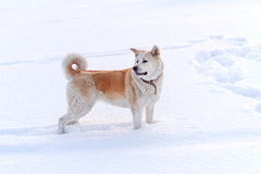 Собака Акиты японца в глубоком сугробе Стоковое Фото