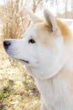Собака Акиты стоковое фото