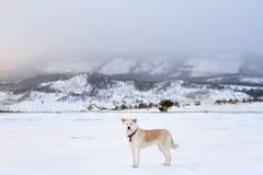 Собака Акиты Inu японца в горах в зиме на Lake Baikal во время фантастичного захода солнца Стоковые Изображения