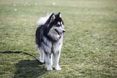Собака Аляски стоковое изображение
