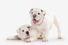Собака 2 английских щенят бульдога на белой предпосылке Стоковые Фотографии RF