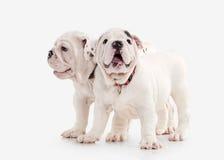 Собака 2 английских щенят бульдога на белой предпосылке Стоковое Фото