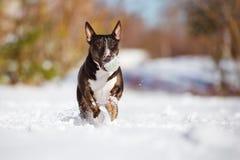 Собака английского быка более terier играя outdoors Стоковое Изображение