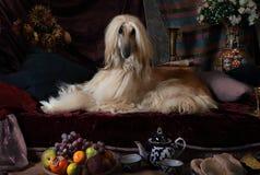 Собака афганской борзой в интерьере араба Стоковое Фото