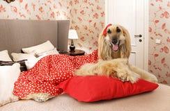 Собака афганской борзой лежа на кровати Стоковое фото RF