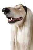 Собака афганской борзой сужала удовольствие Стоковые Фотографии RF