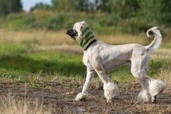 Собака афганской борзой Стоковые Изображения