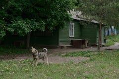 Собака лаяет на доме Стоковая Фотография RF