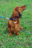 Собака барсука имбиря красная немецкая смотрит к Стоковое Изображение RF