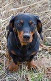 собака барсука Стоковое Фото