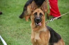Собака бдительна стоковая фотография rf