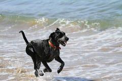 Собака бежать в море стоковое изображение rf