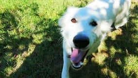Собака бежать в траве сток-видео