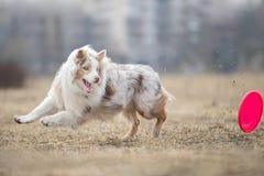 Собака бежать и играя в парке Австралийский чабан, австралийский стоковое изображение rf
