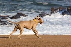 Собака бежать на дезертированном пляже на заходе солнца стоковое фото