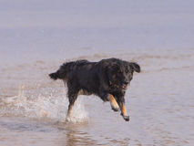 Собака бежать на пляже Стоковое фото RF