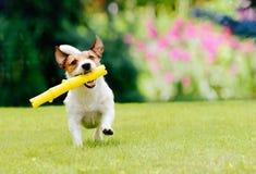 Собака бежать на лужайке лета выручая ручку игрушки Стоковые Фото