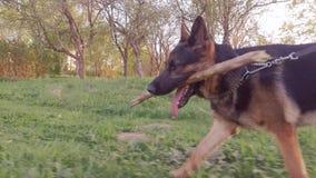 Собака бежать с ручкой в рте конец вверх съемка steadicam видеоматериал