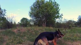 Собака бежать с ручкой в рте конец вверх съемка steadicam сток-видео