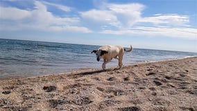 Собака бежит вдоль seashore, светлая собака бежит вдоль пляжа в замедленном движении акции видеоматериалы