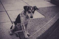 собака бездомных помех собаки на городской дороге в Таиланде Черно-белое изображение Стоковые Фотографии RF