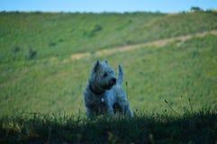 Собака белого терьера западной гористой местности играя в лугах гор Галиции Природа животных перемещения Стоковые Изображения