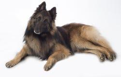 Собака, бельгийский чабан Tervuren, изолированный лежать, Стоковое Изображение RF