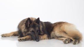Собака, бельгийский чабан Tervuren, спать, стоковое фото rf