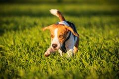 Собака бигля бежать в поле травы в заходе солнца стоковые фотографии rf