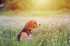 Собака бигля в поле полевого цветка Стоковые Изображения
