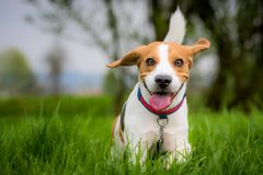 Собака бигля в поле стоковые фотографии rf