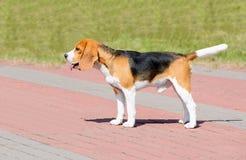 Собака бигля в профиле Стоковое Фото