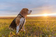 Собака бигля в ярких лучах захода солнца осени Стоковые Фото