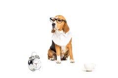 Собака бигля в eyeglasses сидя около будильника и кофейной чашки Стоковые Фото
