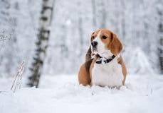 Собака бигля идя в лес зимы снежный Стоковое Фото